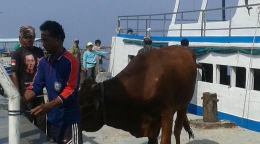 Puluhan Sapi dan Ratusan Paket Sembako Diamankan Panwas Kepulauan Seribu