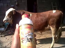 dosis untuk ternak sapi,dosis viterna untuk ayam dosis viterna untuk sapi dosis viterna plus dosis viterna untuk ikan dosis viterna untuk kambing dosis viterna untuk babi