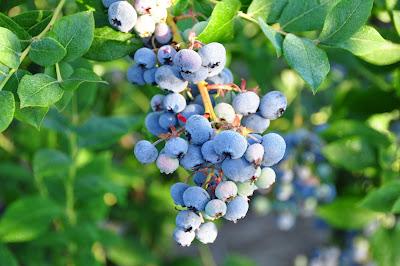 靜心之旅: 吃藍莓 好處多