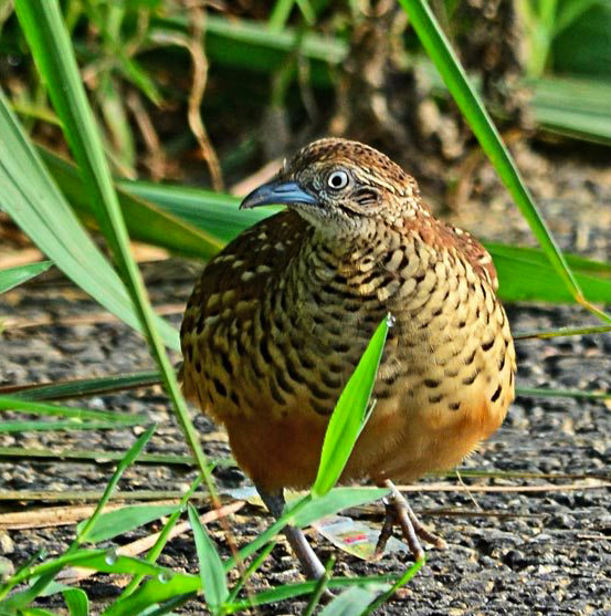 Indian birds - Barred buttonquail - Turnix suscitator