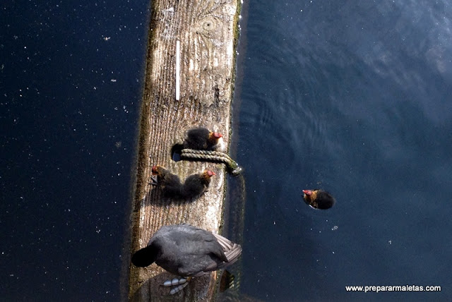 crías de patos en Londres