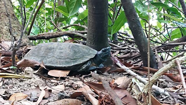 飛鵝山道烏龜