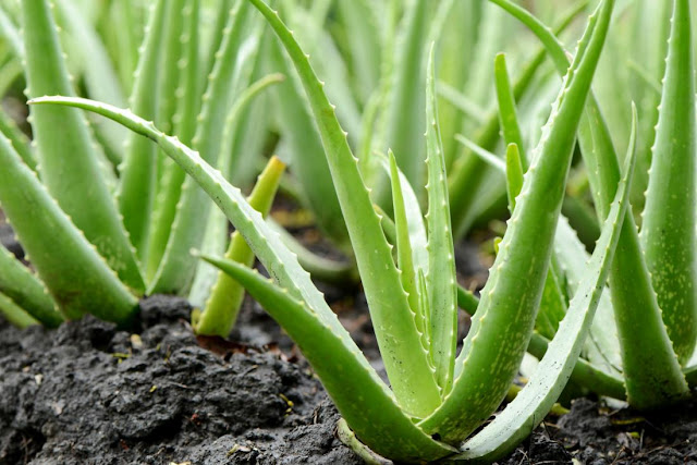 buy-aloe-vera-plant