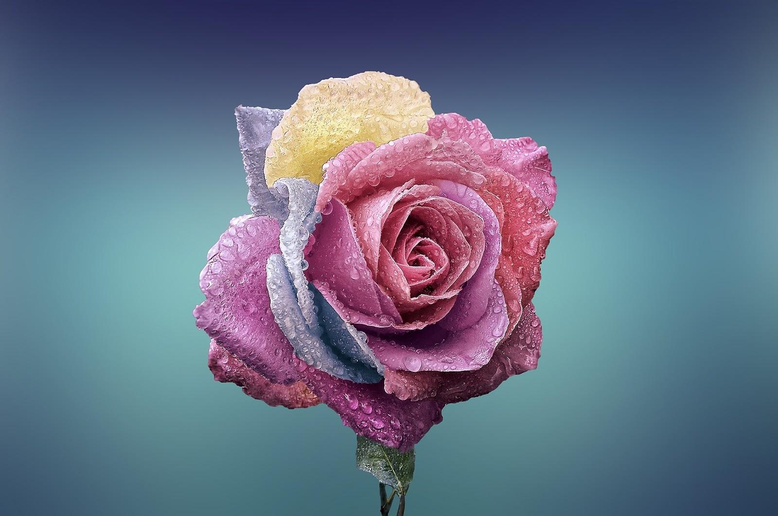 bunga mawar terindah