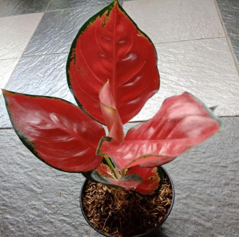 Tanaman hias aglonema suksom kulture Kalimantan Selatan