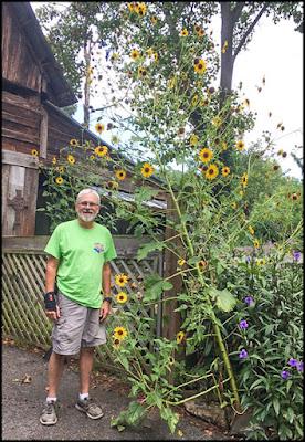 "Giant ""Volunteer"" Sunflowers"