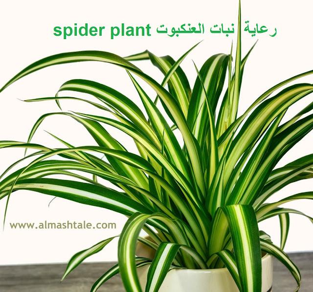 نبات العنكبوت spider plant