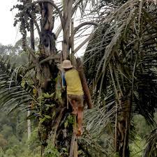 memanjat pohon enau untuk memanen air aren
