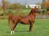 Arap Atı Genel Özellikleri