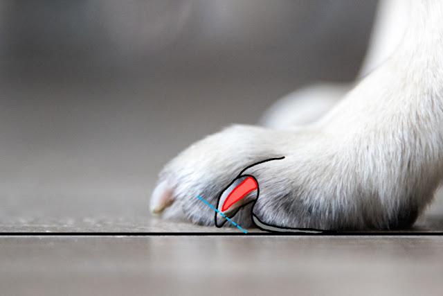 Cómo cortar las uñas a los caniches