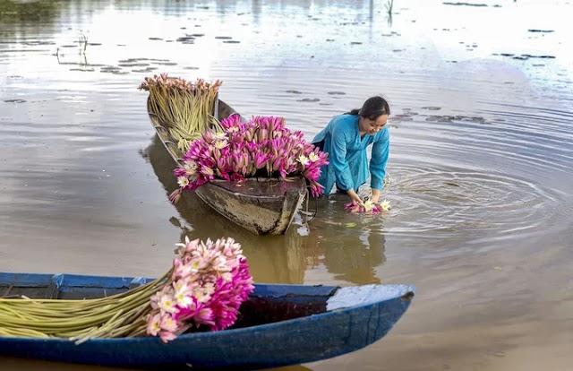 Water lily season on Long An flood fields