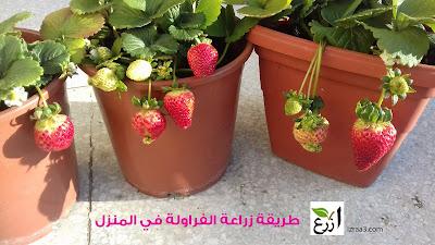 طريقة زراعة الفراولة