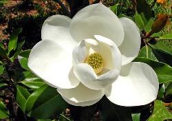 Magnolia  (मैग्नोलिया)