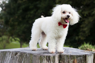 كلب بطباط Poodle