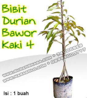 BIBIT DURIAN BAWOR KAKI 4 Rp.90.000,-