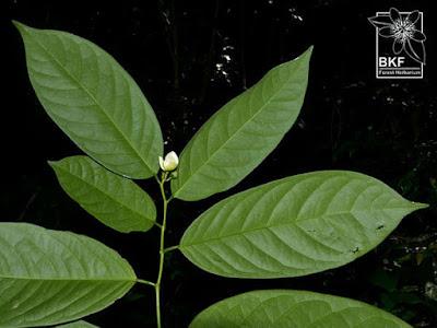 ดอกจำปูน ไม้ดอกหอม พันธุ์ไม้พื้นเมืองไทย Anaxagorea javanica