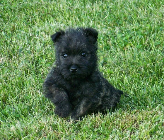 Animals World: cute animals of black cairn terrier puppies pictures