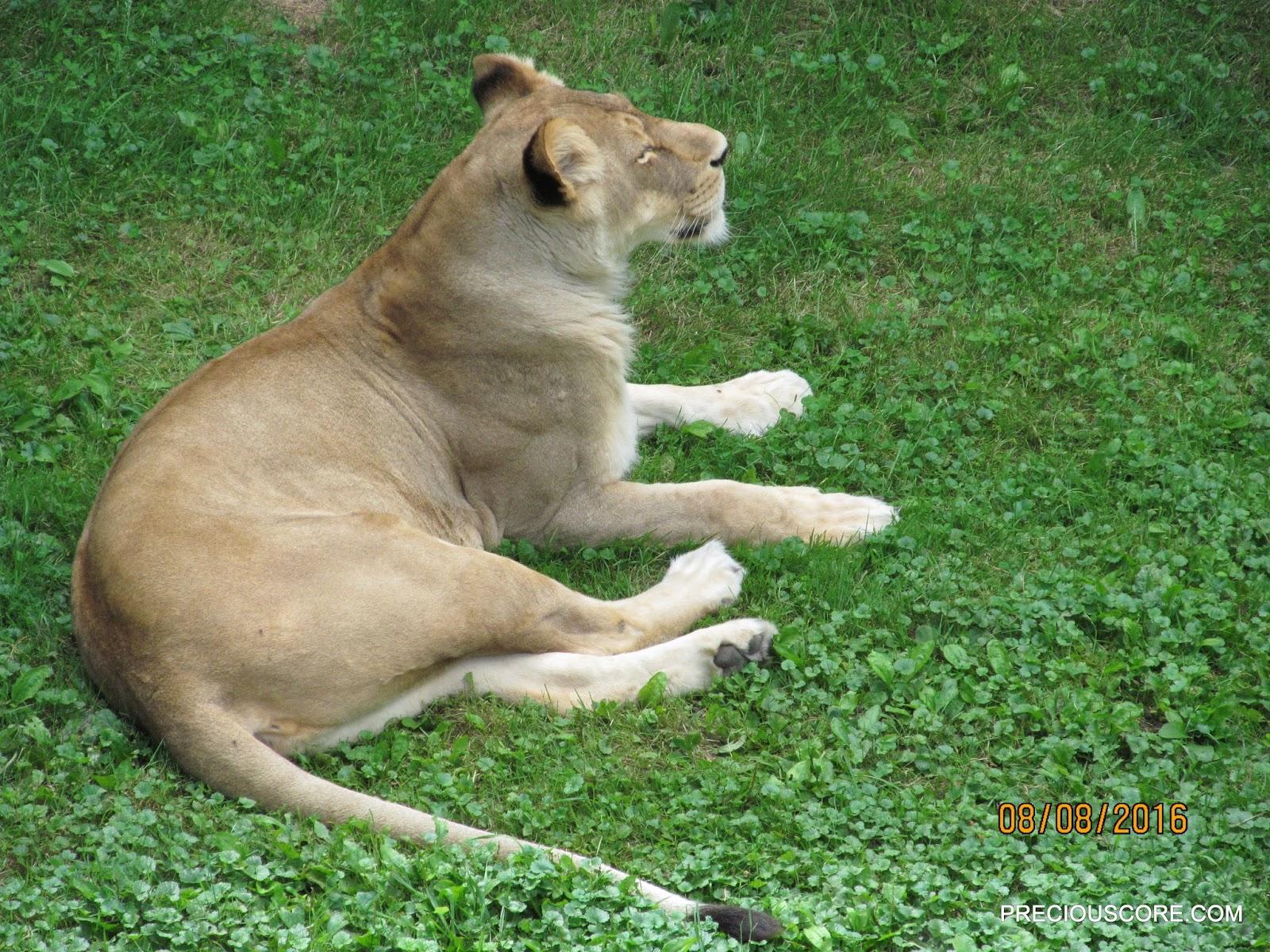 lioness at como zoo