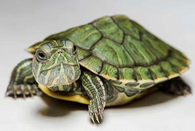 Kura-kura Brazil sehat makan dengan Bloodworm atau cacing beku