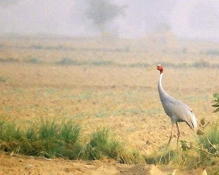 sarus crane symbol of true love