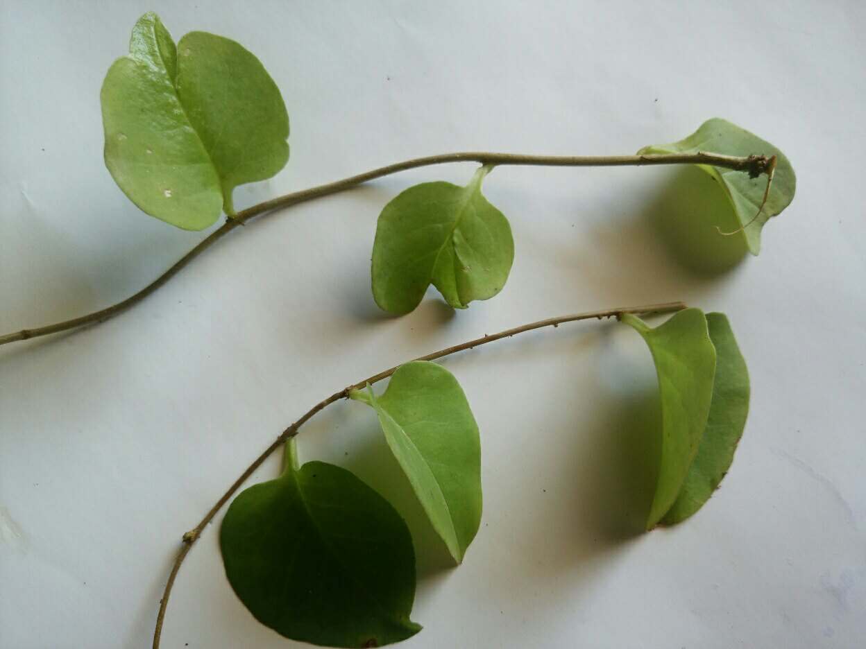 Manfaat binahong sebagai tanaman herbal dengan sejuta khasiat alami