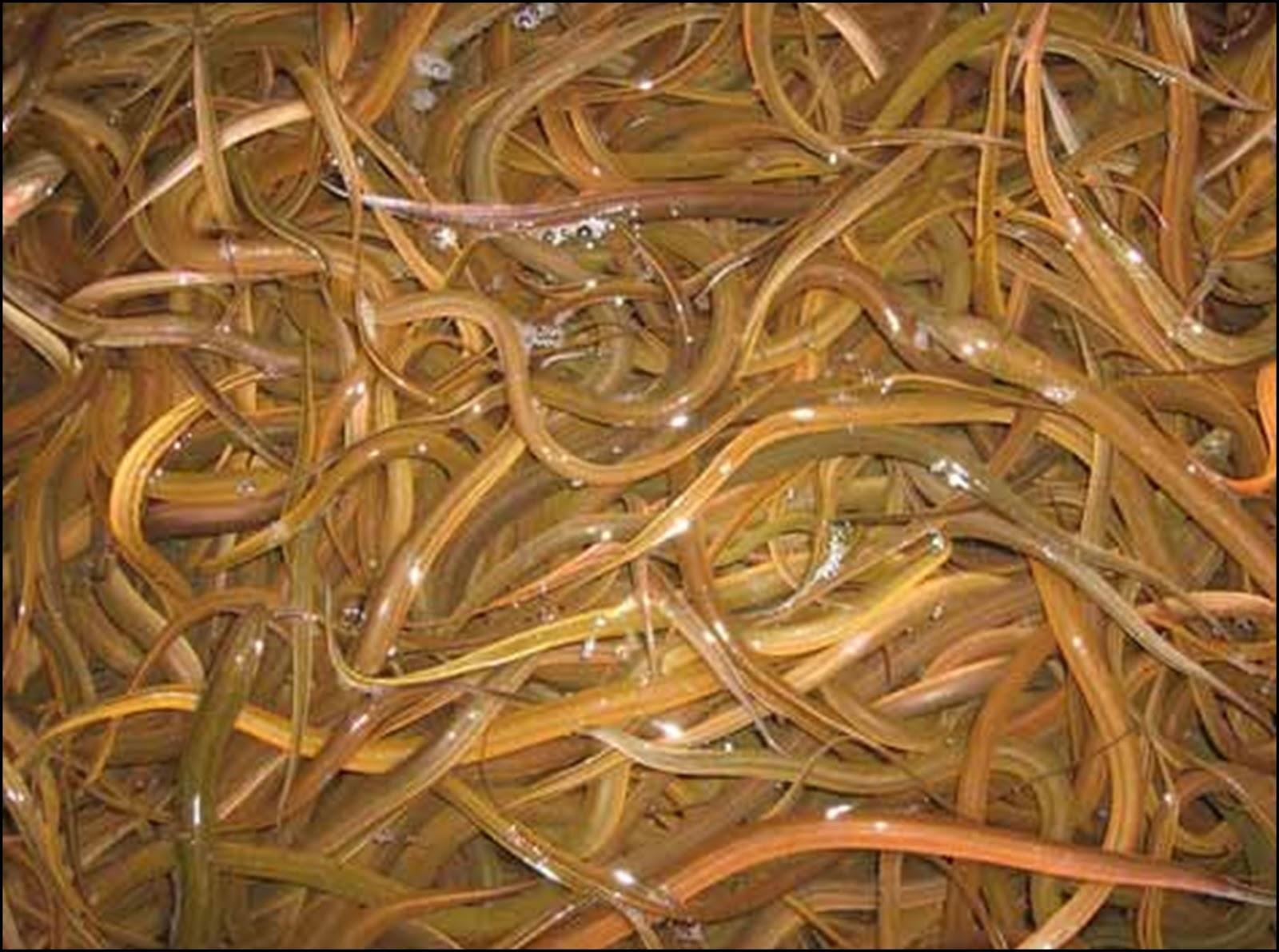 Jual Ikan Belut Serang, Banten