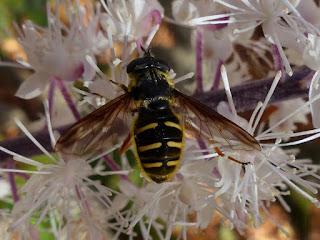 Sericomyia chrysotoxoides