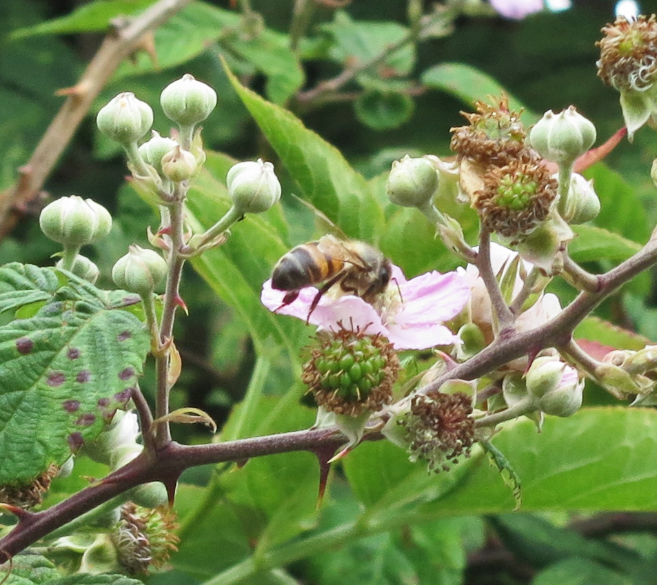 Bee with its head in a bramble flower