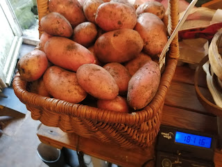 Weighing stemster potatoes