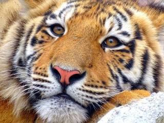 International Tiger Day 2021| History | Significance |  Date & Celebration