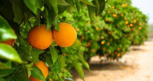 Ξεκίνησε η συγκομιδή των πορτοκαλιών στην Αργολίδα
