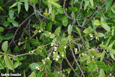 Ibirá Daphnopsis racemosa