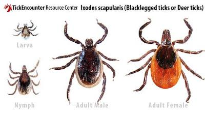 Ticks on Dogs - Dog Ticks