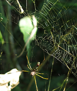 Nephila clavipes, the Golden Silk Orb Weaver