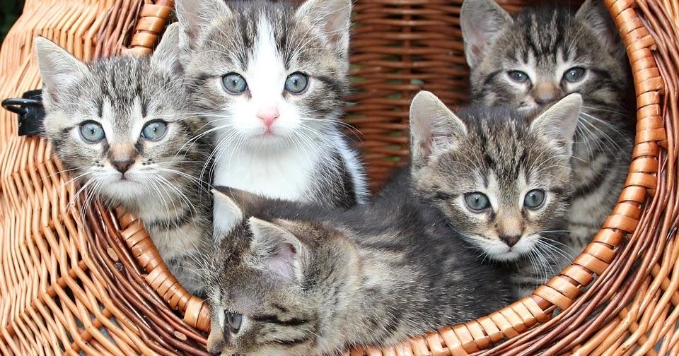 Panduan Lengkap Cara Memberi Makan Anak Kucing Hingga Umur 6 Bulan