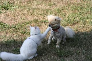 Sifat Dan Karakter Kucing Persia