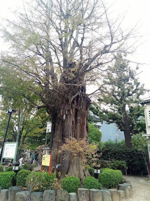 Tree, Tokyo, Gingko biloba