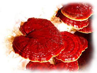 Scope Of Ganoderma Mushroom In West Bengal