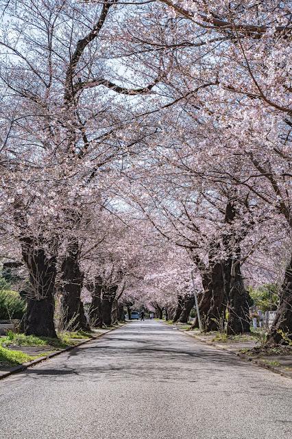 桜,青空,桜並木