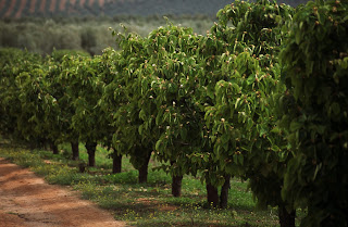 El Quijote's Quince orchards near Seville