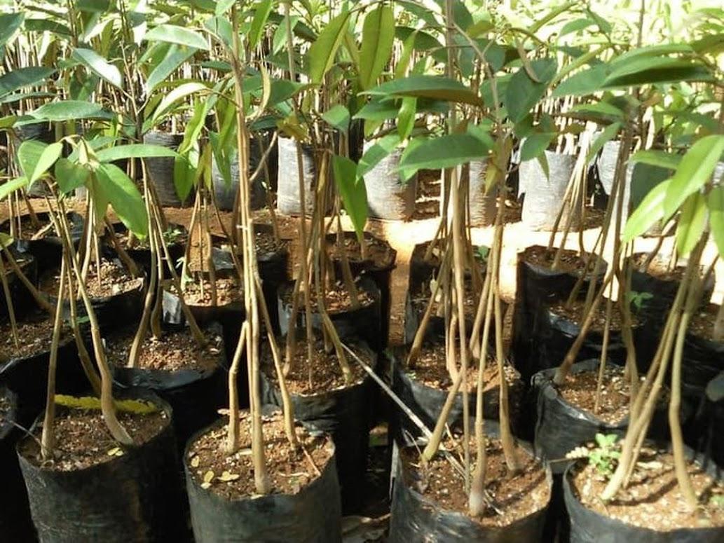 Bibit Buah Durian Musangking Kaki 3 Musang King Kaki 3 Unggul Kalimantan Tengah