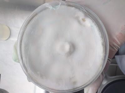 Cordyceps mushroom mother spawn supplier