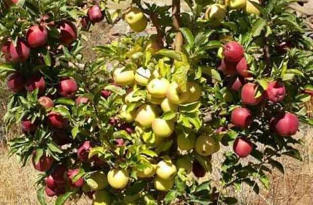 بدء-تـ.ـسويق-التفاح-إلى-السورية-للتجارة-بالسويداء-وفق-الأسـ.ـعار-التالية,؟