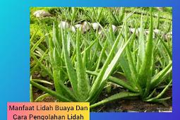 Manfaat Lidah Buaya (Aloe Vera) Dan Cara Pengolahan nya Yang Benar