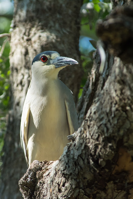 Black-crowned Night-Heron, UT Southwestern Medical Center Rookery