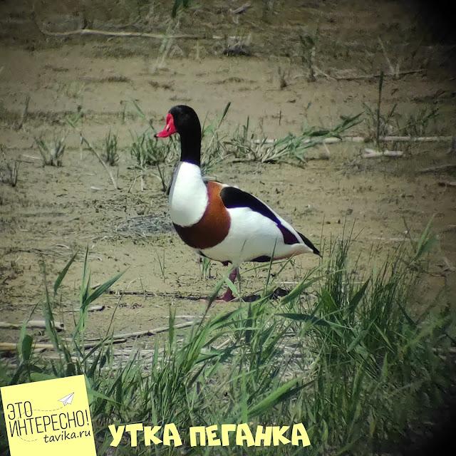 утка пеганка на озере Кызыл Яр