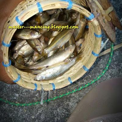 Mancing Wader Pari Atau ikan Paray