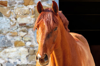 A chestnut horse standing the door way of a brick stable, watching a herd of horses in the background.