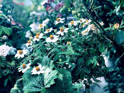 White daisy flowers stock image