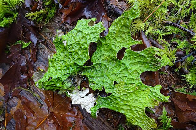 Lobaria pulmonaria, green